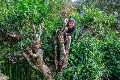 Climbing Tea Tree