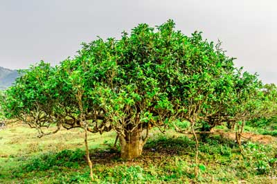 Ancient Tree Suoi Giang